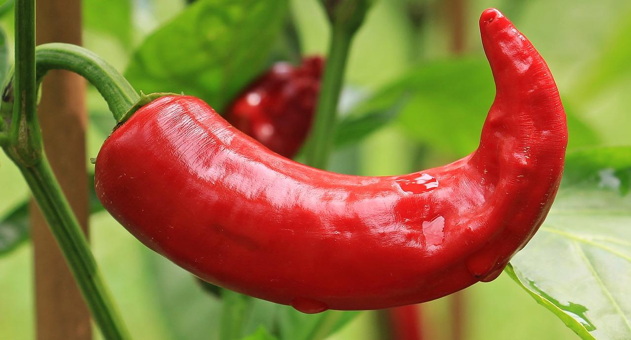 Čili papričky obsahujú kapsaicín, zlúčeninu známu tým, že zvyšuje pocit sýtosti aznižuje spotrebu kalórií.